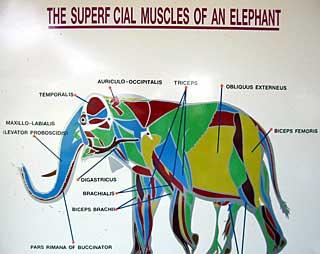Elephant Heart Anatomy